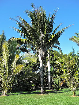 Attalea Speciosa Palmpedia Palm Grower S Guide Arecaceae / palmae american oil palm, babassu palm origin: attalea speciosa palmpedia palm