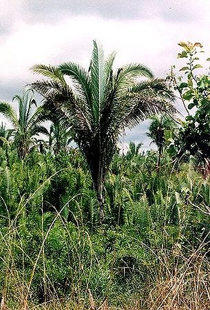 Attalea Speciosa Palmpedia Palm Grower S Guide ?kategorija:nenurodytas lietuviškas pavadinimas attalea speciosa mart., 1826, augalų (plantae) karalystės magnolijūnų (angiospermae) skyriaus lelijainių (liliopsida) klasės (arecales) eilės (arecaceae) šeimos (attalea) genties rūšis. attalea speciosa palmpedia palm